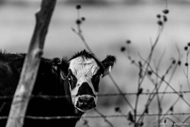 Juggalo Cow