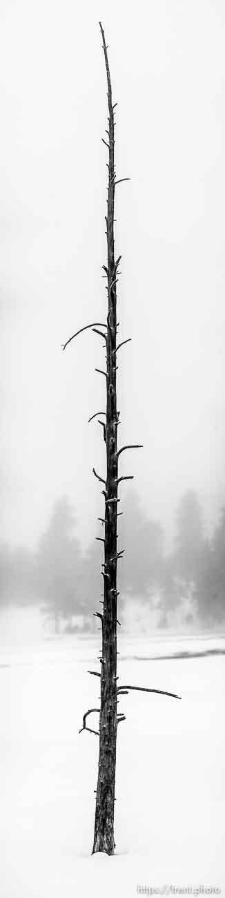 Yellowstone Wood