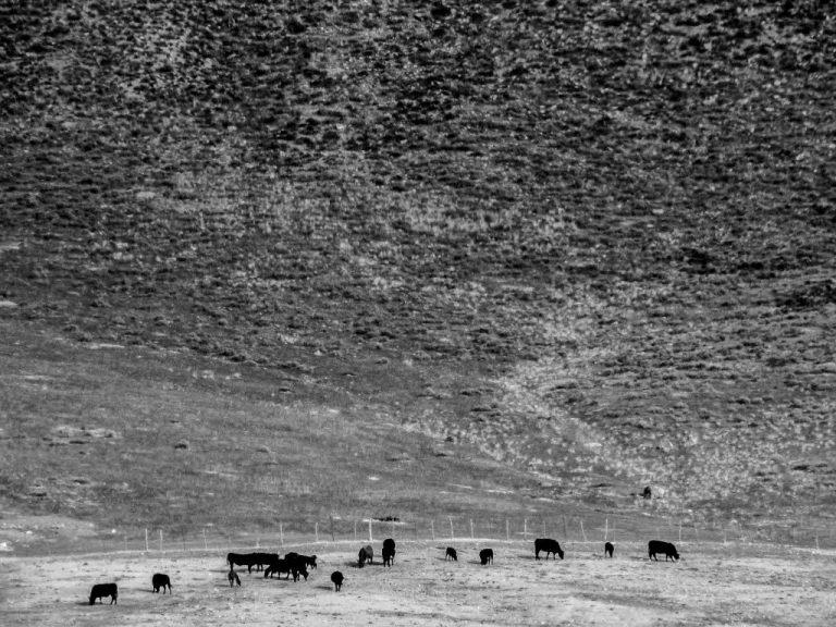 Cattle, Redmond
